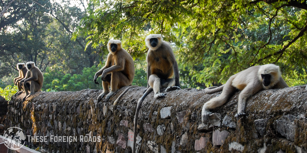 Four black and white monkeys relaxing comfortably on top of a stone wall.