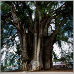 Around Oaxaca: Markets and Trees